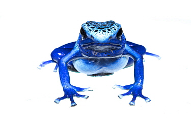 Blue poison dart frog (Dendrobates tinctorius azureus) portrait, captive. Meetyourneighbours.net project
