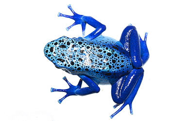 Blue poison dart frog (Dendrobates tinctorius azureus) captive. Meetyourneighbours.net project