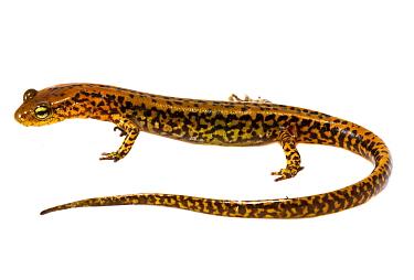 Long-tailed salamander (Eurycea longicauda)  Illinois, USA, May. Meetyourneighbours.net project