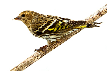 Pine siskin (Carduelis pinus) Oxford, Mississippi, USA, February. Meetyourneighbours.net project
