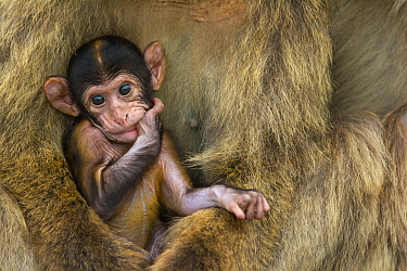 Barbary macaque (Macaca sylvanus) baby sitting with mother, Gibraltar Nature Reserve, Gibraltar, June.