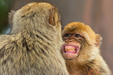Barbary macaque (Macaca sylvanus) baring teeth as a sign of submission, Gibraltar Nature Reserve, Gibraltar,
