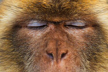 Barbary macaque (Macaca sylvanus) close up portrait, Gibraltar Nature Reserve, Gibraltar,