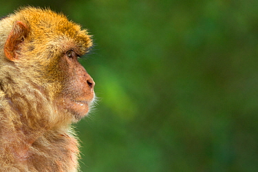 Barbary macaque (Macaca sylvanus) profile, portrait, Gibraltar Nature Reserve, Gibraltar, June.