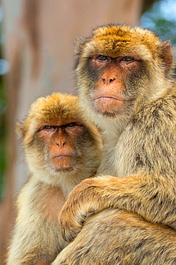 Barbary macaque (Macaca sylvanus) portrait of two sitting together, Gibraltar Nature Reserve, Gibraltar, June.