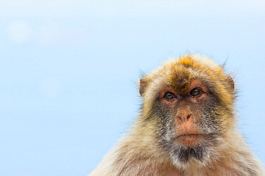 Barbary macaque (Macaca sylvanus) portrait, Gibraltar Nature Reserve, Gibraltar. June.