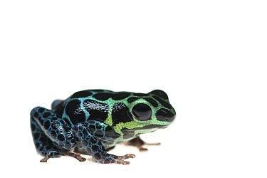 Mimic poison frog (Ranitomeya imitator) captive, occurs in Peru.