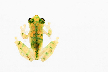 Reticulated glass frog (Hyalinobatrachium valerioi) captive, occurs in  Colombia, Costa Rica, Ecuador, and Panama