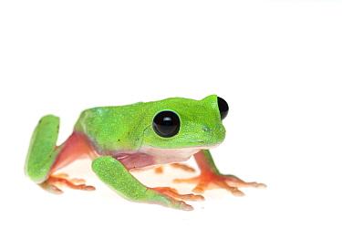 Morelet's tree frog (Agalychnis moreletii) captive occurs in Central America. Critically endangered species.