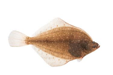 European plaice (Pleuronectes platessa) adult, The Netherlands, March, Meetyourneighbours.net project