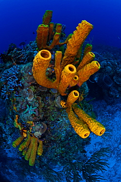 Yellow tube sponge (Aplysina fistularis) Cozumel Reefs National Park, Cozumel Island, Caribbean Sea, Mexico, February