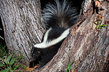 Striped skunk (Mephitis mephitis) Laredo Borderlands, Texas, USA. April