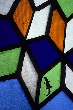 Moorish gecko (Tarentola mauritanica) in stained glass window, Cordoba, Spain, June