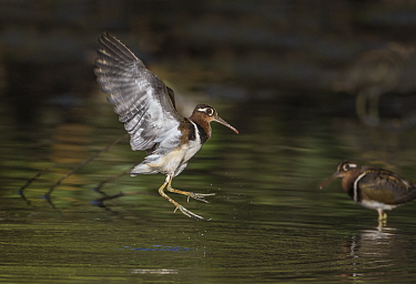 Painted snipe (Rostratula benghalensis) adult female landing in mangrove swamp, Kotu area, The Gambia. Cropped.