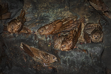 Oilbird (Steatornis caripensis) adults in nesting / roosting cave Asa Wright Field Centre,  Trinidad
