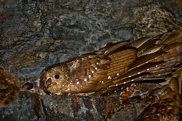 Oilbird (Steatornis caripensis) adult in nesting/roosting cave. Asa Wright Field Centre, Trinidad