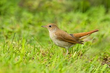 Nightingale (Luscinia megarhynchos) on ground, Gabarevo area, Bulgaria, May.