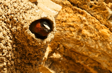 Cliff swallow (Petrochelidon pyrrhonota) at nest. Sublette County, Wyoming, USA. June.