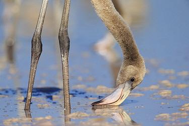 Young American flamingos (Phoenicopterus ruber) feeding. Rio Lagartos Biosphere Reserve, Yucutan, Mexico. August.