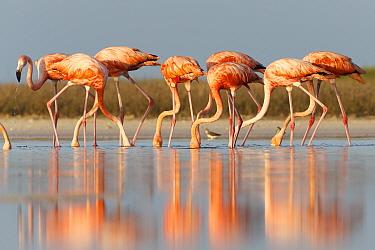 Adult American flamingos (Phoenicopterus ruber) feeding. Rio Lagartos Biosphere Reserve, Yucutan, Mexico. July.