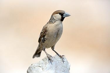 Sociable Weaver (Philetairus socius),  Etosha National Park, Namibia, Africa