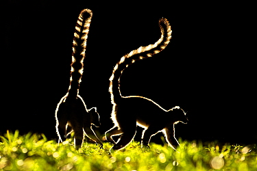 Ring tailed Lemurs (Lemur catta) silhouetted, Madagascar.