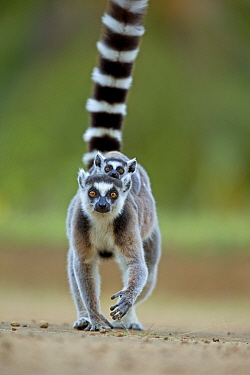Ring tailed Lemur (Lemur catta) mother carrying baby on back. Madagascar.