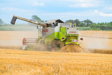 Claas Lexion 420 combine harvester fitted with straw chopper, Norfolk, UK, August 2014.