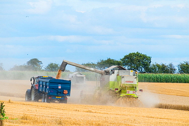 Tractor and trailer harvesting crop with Claas Lexion 420 combine harvester fitted with straw chopper, Norfolk, UK, August 2014.