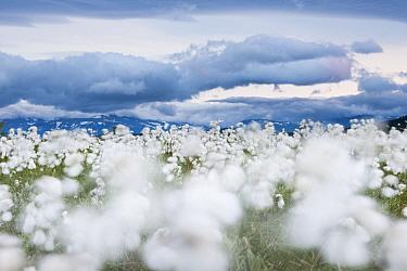 Flowering cottongrass (Eriophorum angustifolium) in wetland,  mirroring clouds in sky, Sjaunja Nature Reserve. Laponia World Heritage Site, Swedish Lapland, Sweden. July 2013.
