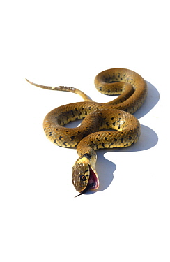Grass snake (Natrix natrix) feigning death, Poitou, France, May.