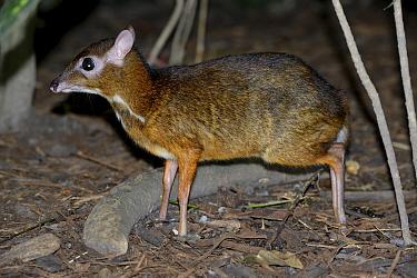 Lesser mouse deer (Tragulus kanchil), Malaysia, February.