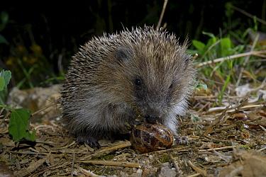 European hedgehog (Erinaceus europaeus) eating snail, Poitou, France, July.