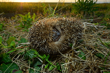 European hedgehog (Erinaceus europaeus) curled up, Poitou, France, August.