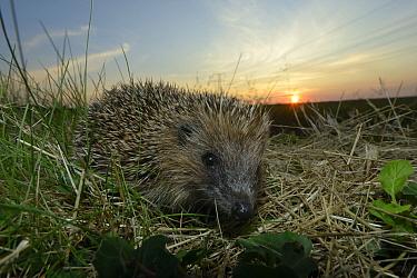 European hedgehog (Erinaceus europaeus), Poitou, France, August.