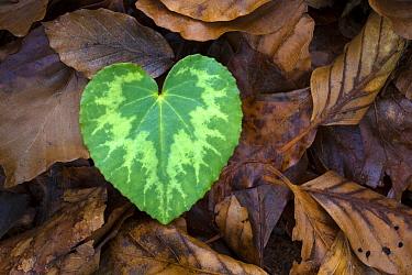 Heart-shaped leaf of Alpine Cyclamen (Cyclamen purpurascens). Plitvice Lakes National Park, Croatia. January.