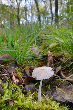 Hare's foot inkcap (Coprinopsis lagopus) growing in woodland clearing, GWT Lower Woods reserve, Gloucestershire, UK, October.