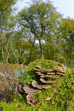 Turkey tail fungus / many zoned polypore (Trametes versicolor) growing on mossy tree stump, GWT Lower Woods reserve, Gloucestershire, UK, October.