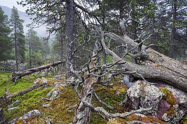 Scots pine (Pinus sylvestris) forest in fog, with rocks covered by arctoparmelia lichen (Arctoparmelia centrifuga), Stora Sjofallet National Park, Laponia, Lapland, Sweden, July.