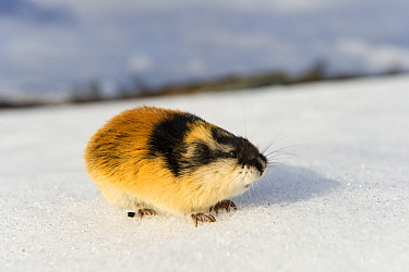 Norway lemming (Lemmus lemmus) on snow, during the lemming population explosion, Vauldalen, Norway, May, 2011.
