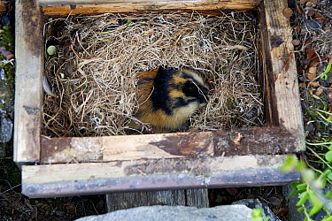 Norway lemming (Lemmus lemmus) in nest box, Vauldalen, Norway, June.