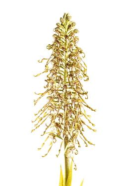 Lizard orchid (Himantoglossum hircinum), Corella, Navarra, Spain, May. meetyourneighbours.net project
