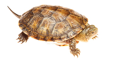 European pond turtle (Emys orbicularis), Bardenas Reales Natural Park, Navarra, Spain, May. meetyourneighbours.net project