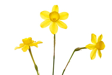 Daffodil (Narcissus dubius), Milagro, Navarra, Spain, March. meetyourneighbours.net project