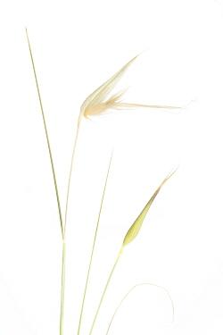 Grass (Lygeum spartum), Ebro Valley, Corella, Navarra, Spain, April. meetyourneighbours.net project
