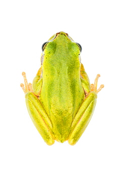 Lemon-yellow tree frog (Hyla savignyi), Central Coastal Plain, Israel, June. Focus-stacked and cropped. meetyourneighbours.net project