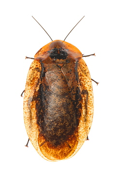 Peppered cockroach (Archimandrita tesselata), Toledo District, Belize, August. meetyourneighbours.net project