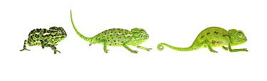 Mediterranean chameleon (Chamaeleo chamaeleon rectricrista) composite showing colour changing, Netanya, Central Coastal Plain, Israel, March. meetyourneighbours.net project
