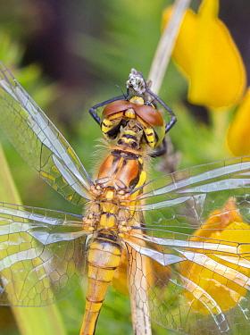 Black darter dragonfly (Sympetrum danae) female, Moreden Bog, Dorset, UK, August.