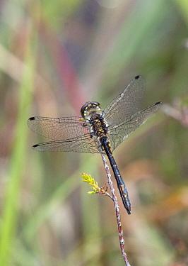 Black darter dragonfly (Sympetrum danae) male Moreden Bog, Dorset, UK, August.